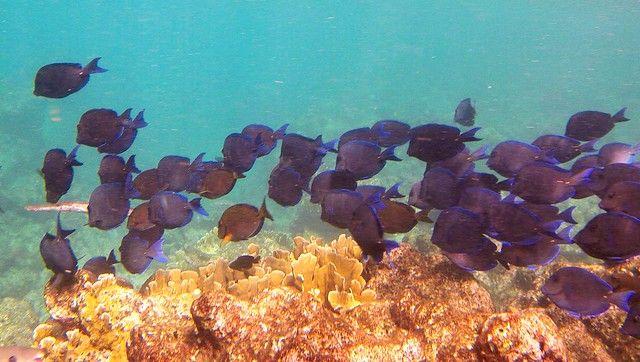 綠島浮潛-黑色雕魚