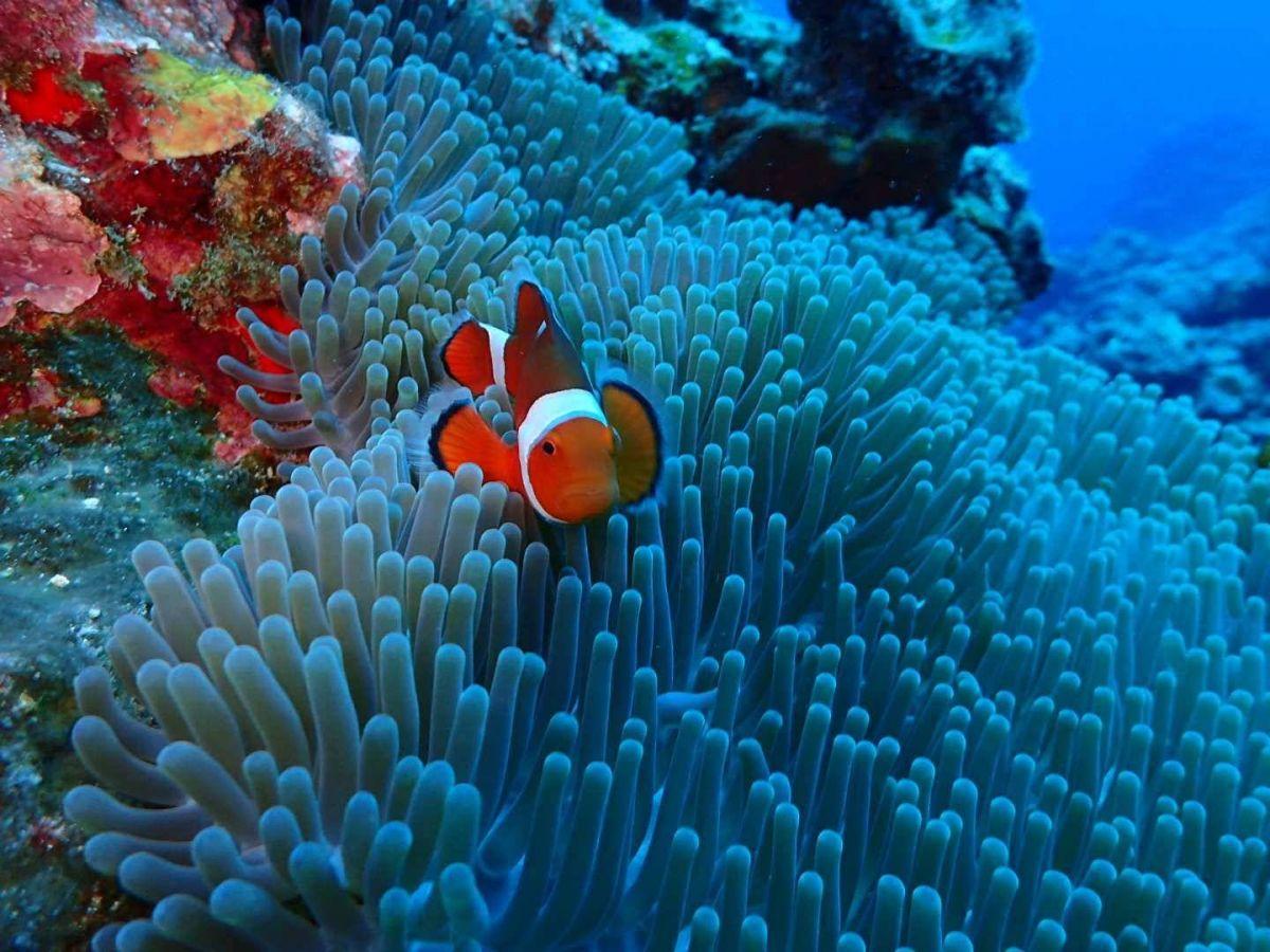 綠島潛水小丑魚